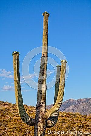 Saguaro Cactus Blooming