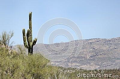 Saguaro Cactus desert mountains, Colossal Cave Mountain Park, Arizona