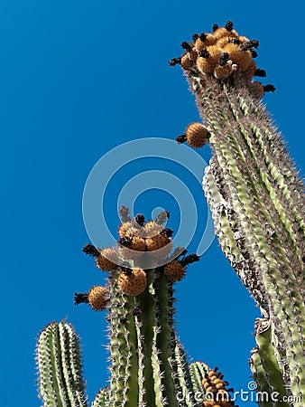Saguaro Cactus flowers