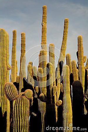 Saguaro cactus grouping