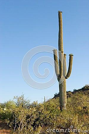 Desert Plants Cacti. CACTUS PLANTS IN THE DESERT
