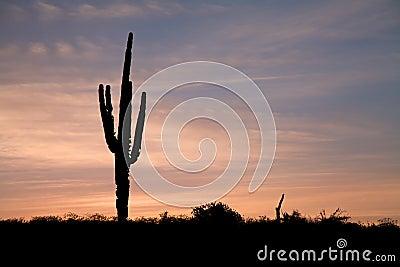 Saguaro in Sunrise