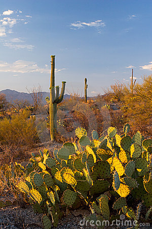 Saguaro National Monument at Sunset