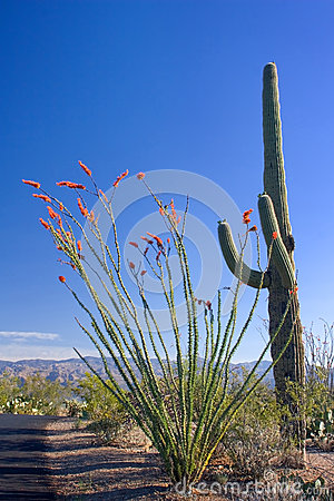 Saguaro and Ocotillo Cactus