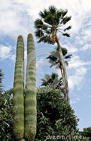 Saguaro and palm tree