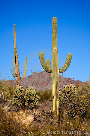SAGUARO THREE