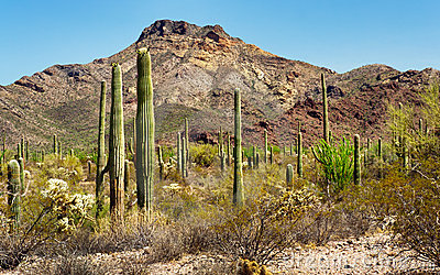 Saguaros in the Organ Pipe Cactus