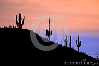 Saguaros in the Sunrise