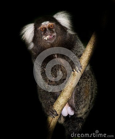 Free Sagui In Tree Eating Fruit Royalty Free Stock Photography - 132691427
