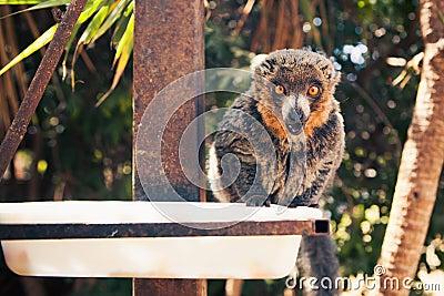 Sahamalaza sportive lemur feeding