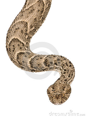 Saharan horned viper, studio shot