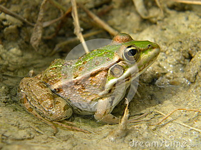 Saharan water frog