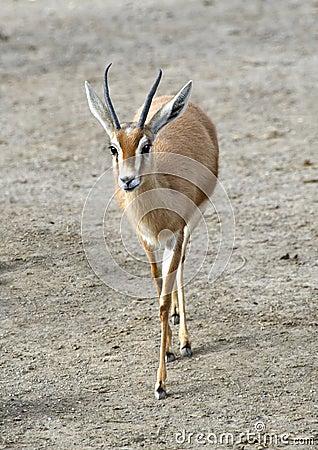 Saharawi Dorcas Gazelle