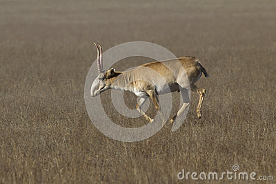 Saiga antelope male running across