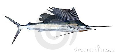 Sailfish real fish isolated on white