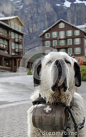 Saint Bernard dog with barrel of brandy