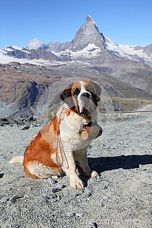 Saint Bernard dog on Matterhorn mountain