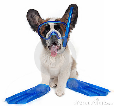 Saint Bernard puppy dog wearing snorkeling gear
