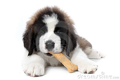 Saint Bernard Puppy Enjoying a Treat