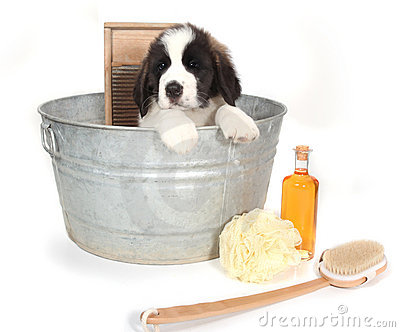 Saint Bernard Puppy in a Washtub for Bath Time