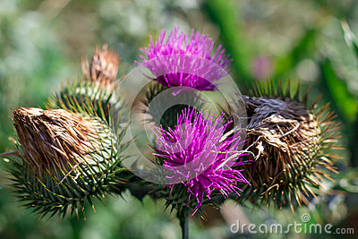 Saint-Mary-thistle purple flowers and thorns Stock Photo