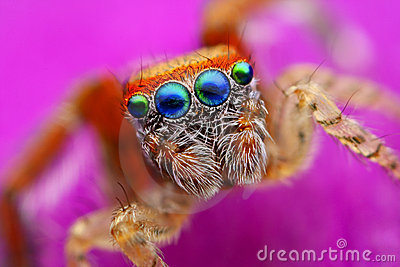 Saitis barbipes jumping spider from Spain