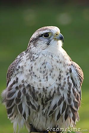 Free Saker Falcon Stock Photos - 27179223