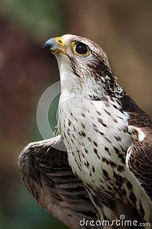 Free Saker Falcon Royalty Free Stock Photo - 8681875
