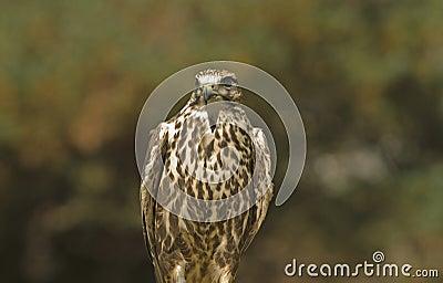 Saker falcon(falco cherrug)