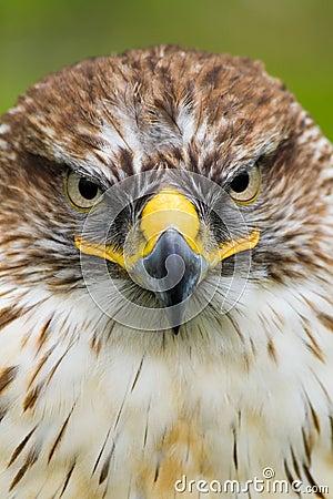 Saker Falcon/Ferruginous Hawk