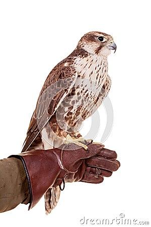 Free Saker Falcon Isolated On White Stock Photos - 42182363