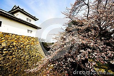 Sakura Bloom in Hikone-jō (Castle)