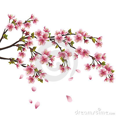 Free Sakura Blossom - Japanese Cherry Tree Isolated Stock Images - 23306204