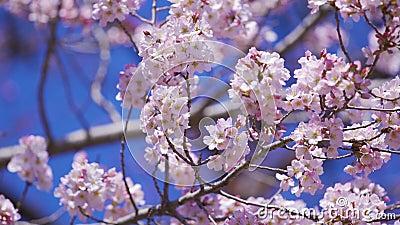 Sakura, flor da flor de cerejeira na esta??o de mola vídeos de arquivo