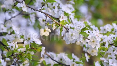 Sakura, flores de cerezo en flor en primavera almacen de video