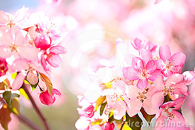 Sakura flowers blooming