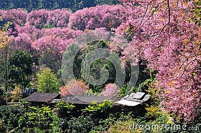 Sakura flowers and huts