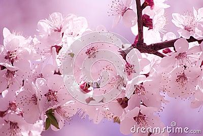 Sakura flowers in the morning
