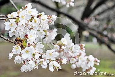 Sakura in full blossom