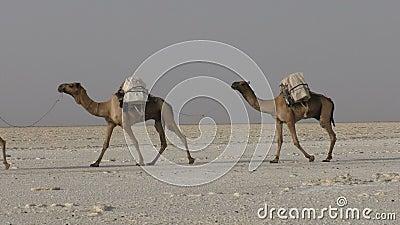 Sal levando da caravana dos camelos no deserto do ` s Danakil de África, Etiópia filme