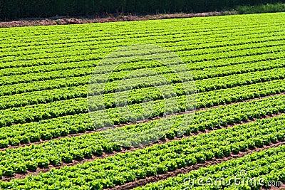 Salad field rows