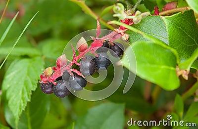 Salal berries, Gaultheria shallon