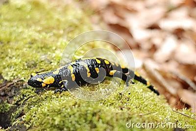Salamander lizard