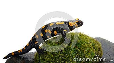 Salamander on a moss
