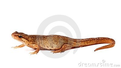 Salamander, or newt, on white background