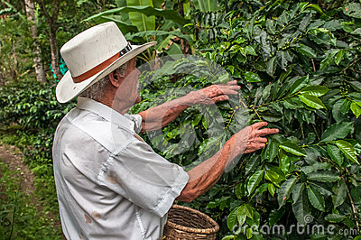 SALENTO, ZONA CAFETERIA, COLOMBIA - November, 28: Old farmer har Editorial Stock Photo