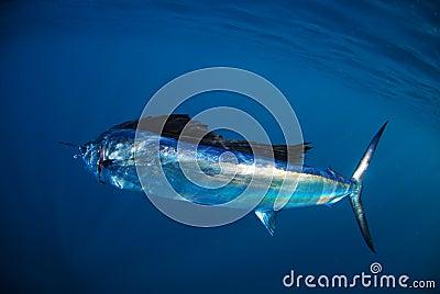 Salifish in ocean