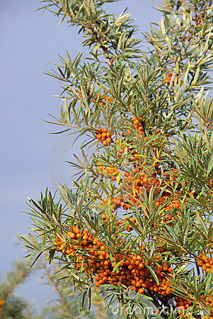 Free Sallow Thorn Royalty Free Stock Photography - 11405007