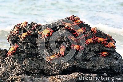 Sally Lightfoot Crabs, Galapagos