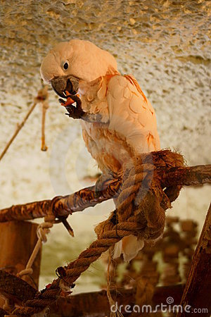 Salmon - crested Cockatoo